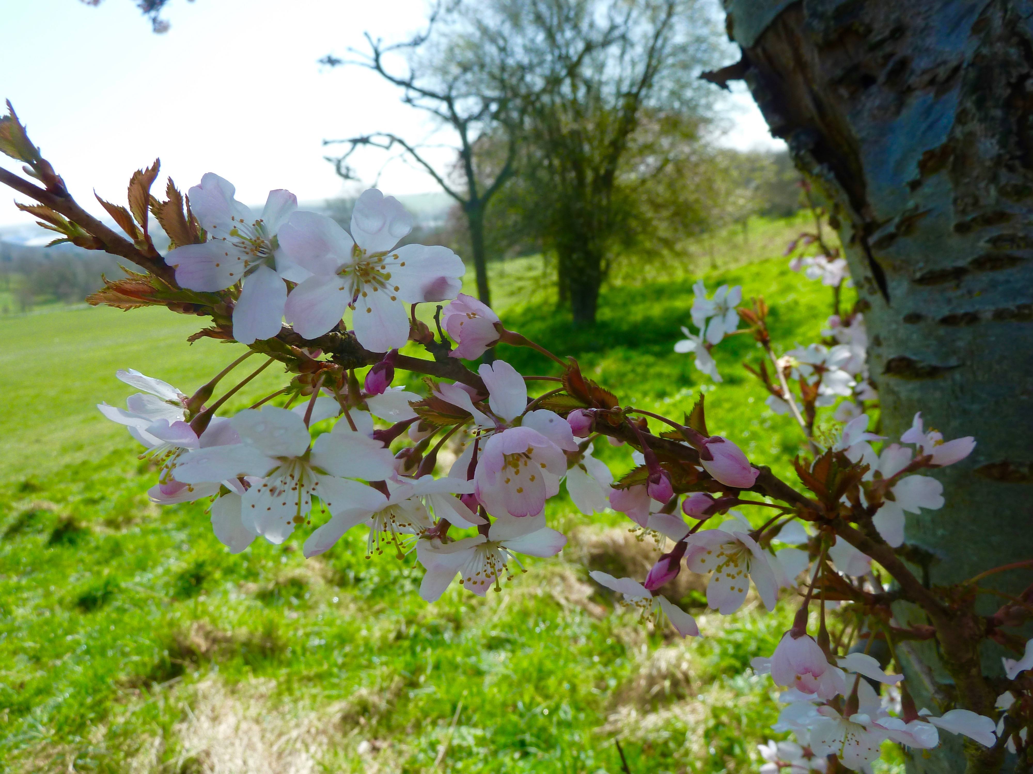 blossoms on trees in stanmer park after massage